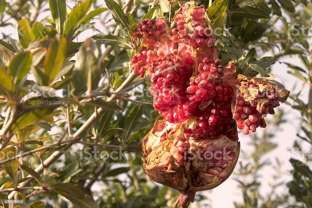 Wilted pomegranate on tree stock photo