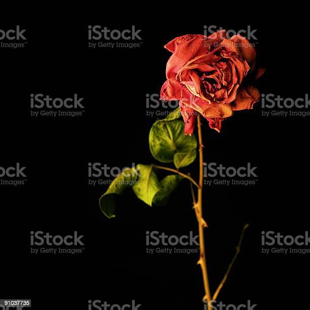 Wilted red rose picture id91037735?b=1&k=6&m=91037735&s=612x612&h= fb810vvf3g862szspe1wza fkfg04gfcfbx6hkw 1g=