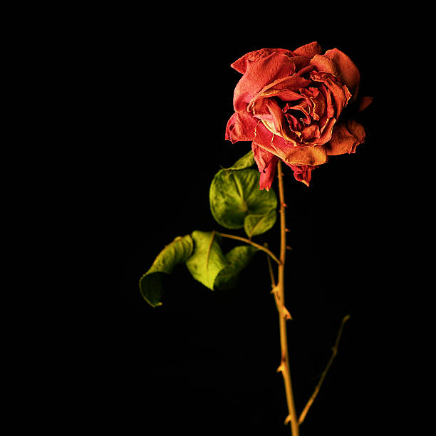 wilted red rose stock photo