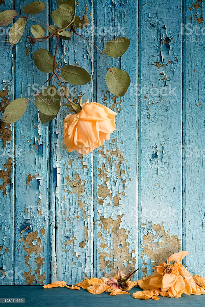 Wilted Rose Shedding Petals Against Peeling Painted Wall stock photo