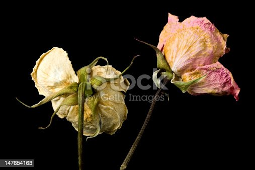 Wilted roses in the decaying process against black background.