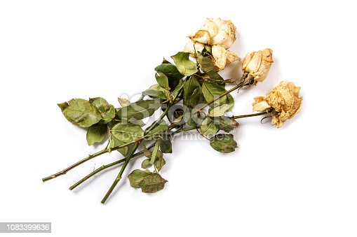 Wilted roses isolated on white background. Frozen roses on a white background. Wilted roses mockup template.
