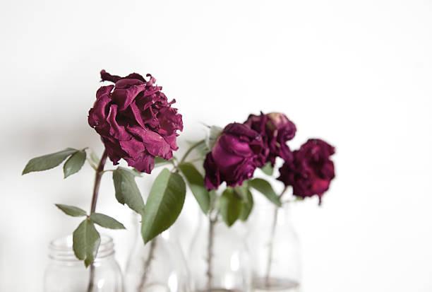 Wilted roses picture id182473041?b=1&k=6&m=182473041&s=612x612&w=0&h=v25m3y339cwuitqs8fr 7yoxe2r5skubxl0fdhhb3mu=