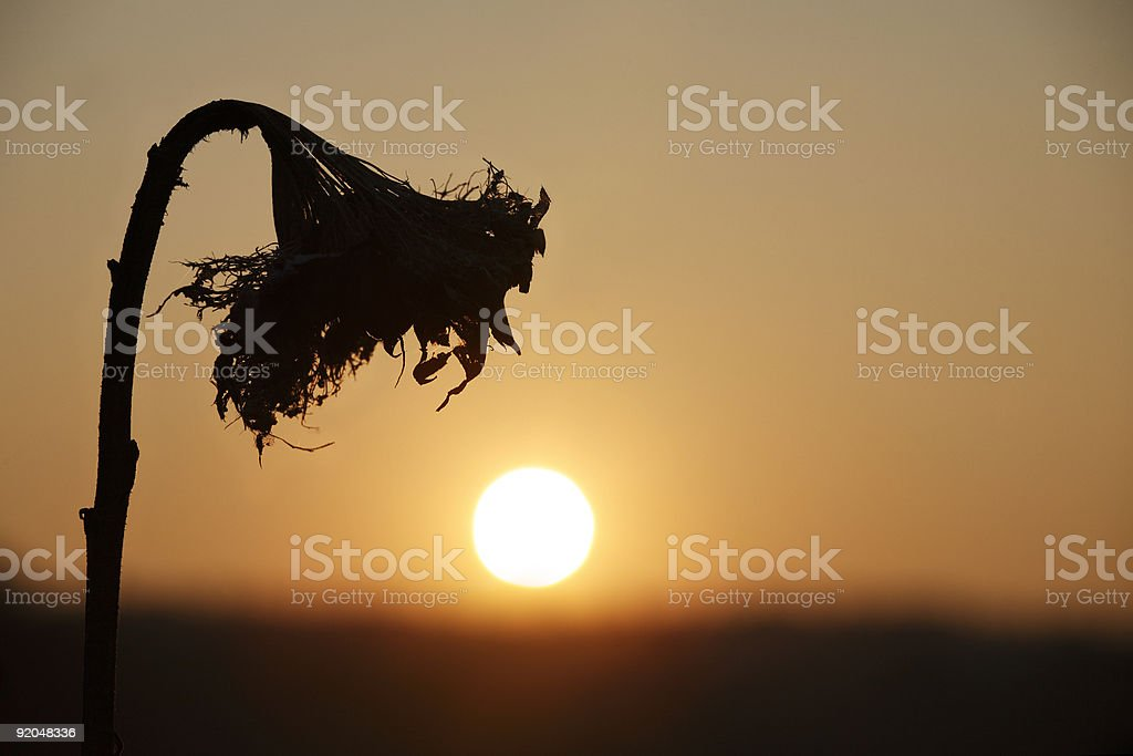 Wilted sunflower's shadow in the sunset royalty-free stock photo