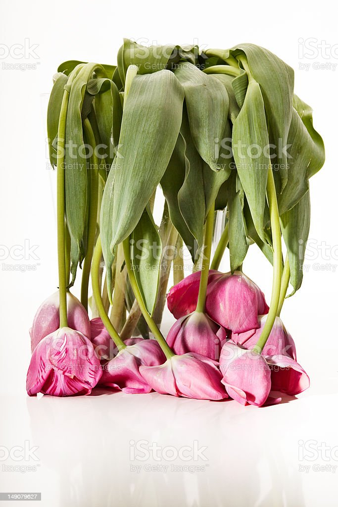 Wilted Tulip Bouquet stock photo