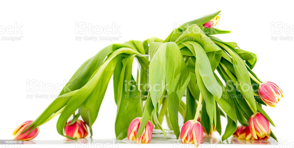 Wilted tulip in glass vase on white close up stock photo
