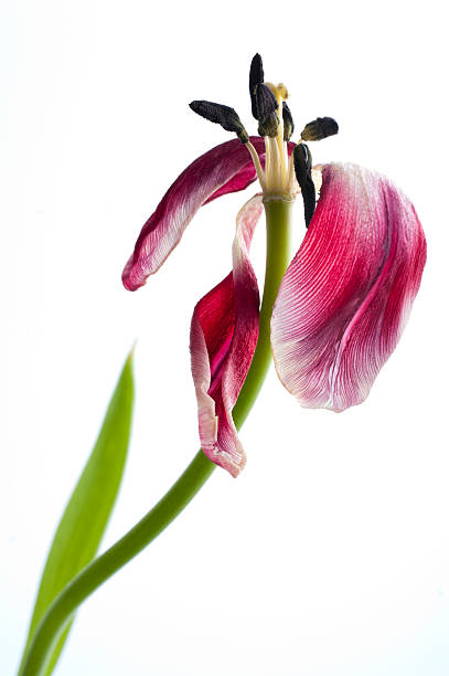 Wilted tulip, past its prime . . . stock photo