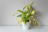 istock Wilting home flower Spathiphyllum in white pot against a light wall. Home green plant. Concept of home plant diseases. Abandoned home flower 1255636729