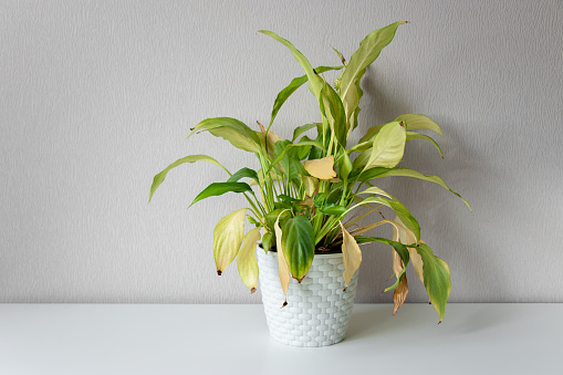 Wilting home flower Spathiphyllum in white pot against a light wall. Home green plant. Concept of home plant diseases. Abandoned home flower