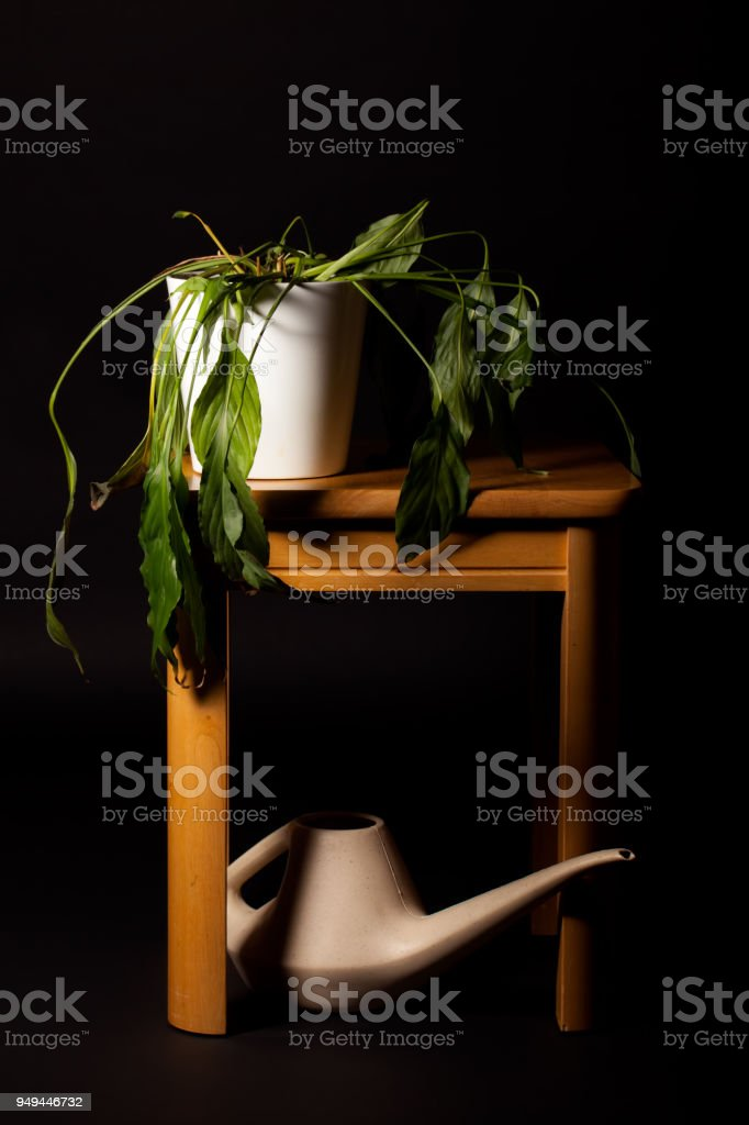 Wilting Peace Lilly house pot plant needing watering stock photo