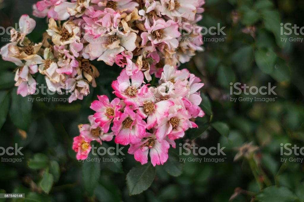 wilting pink flowers on foliage or bushes royalty-free stock photo