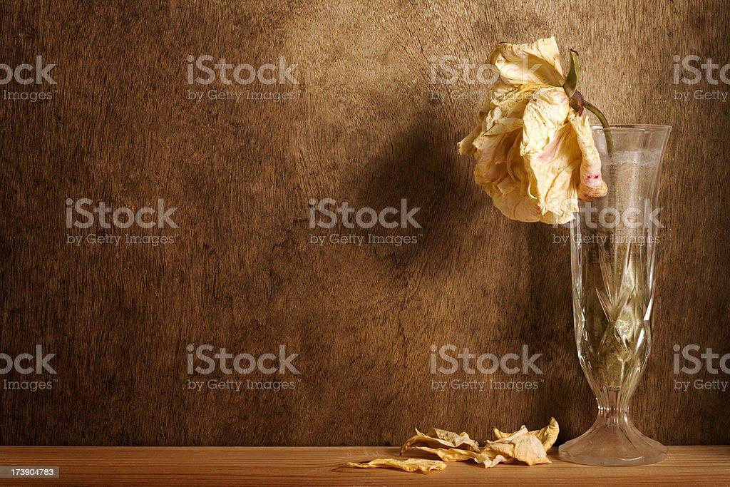 Wilting Rose stock photo