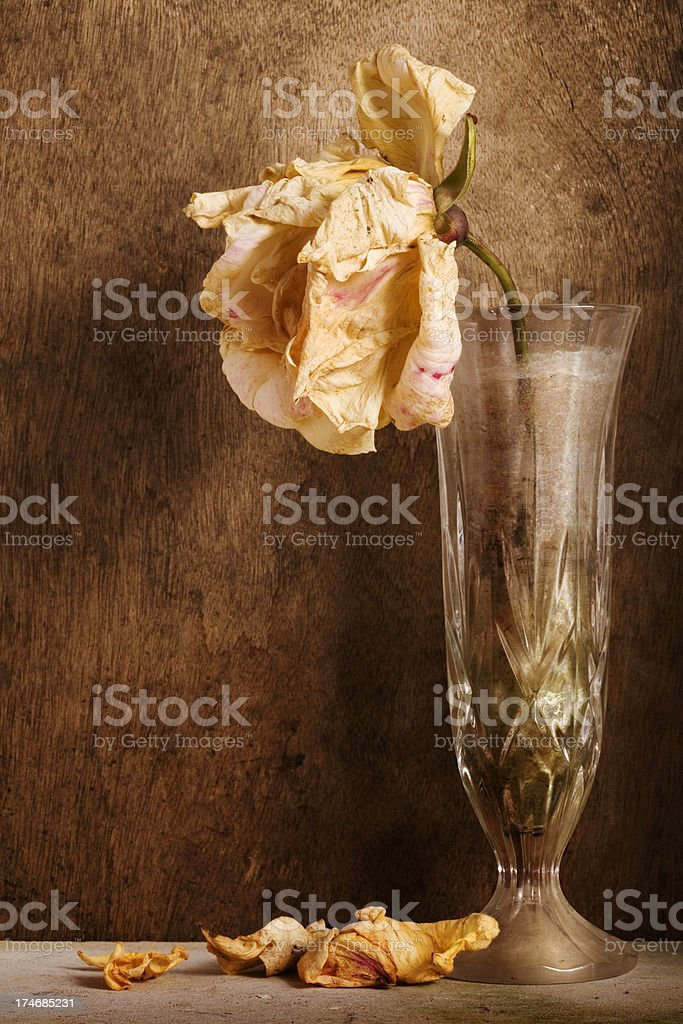 Wilting Rose royalty-free stock photo
