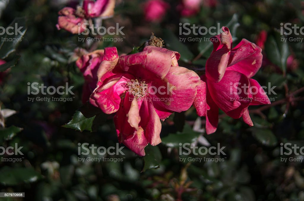 wilting rose with weathered color pink royalty-free stock photo