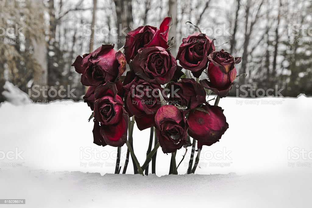 Wilting Roses in the Winter Snow Horizontal stock photo