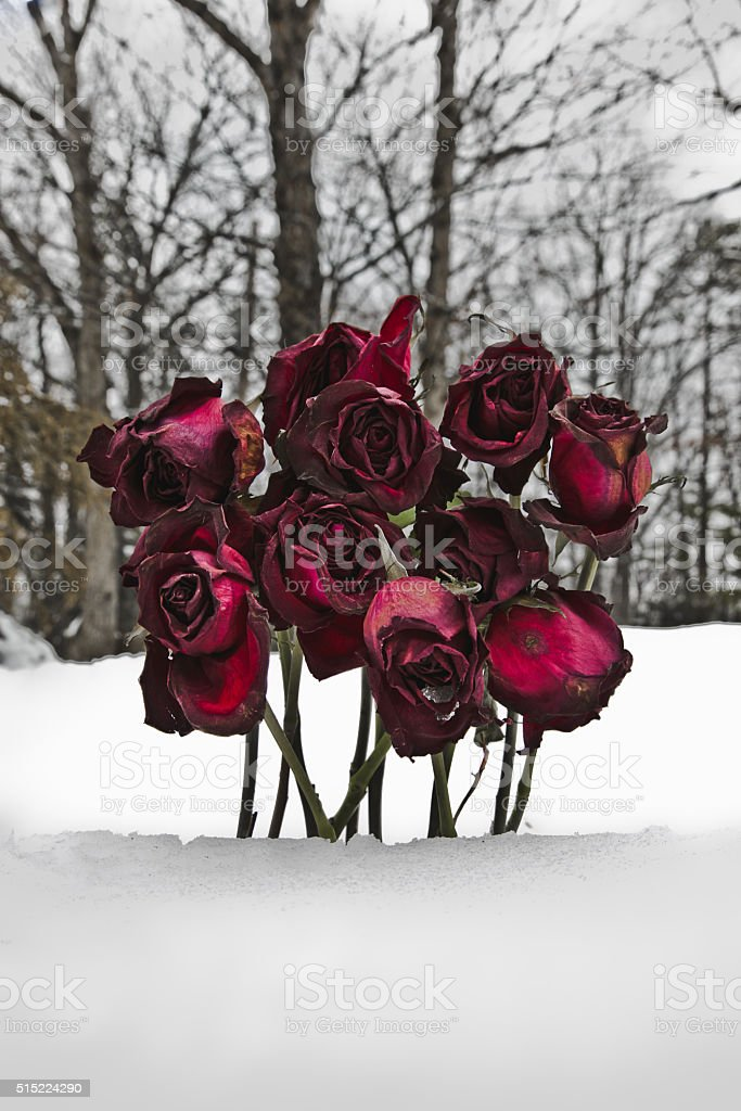 Wilting Roses in the Winter Snow Vertical stock photo