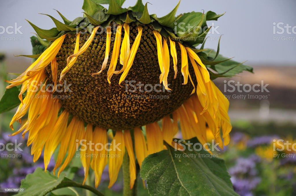 welke Sonnenblumen im Herbst – Foto