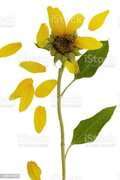 Wilting sunflower picture id133414572?b=1&k=6&m=133414572&s=612x612&h=hxaurz5ylj2zgsov15txr5fzxemsq fosy6nc may c=