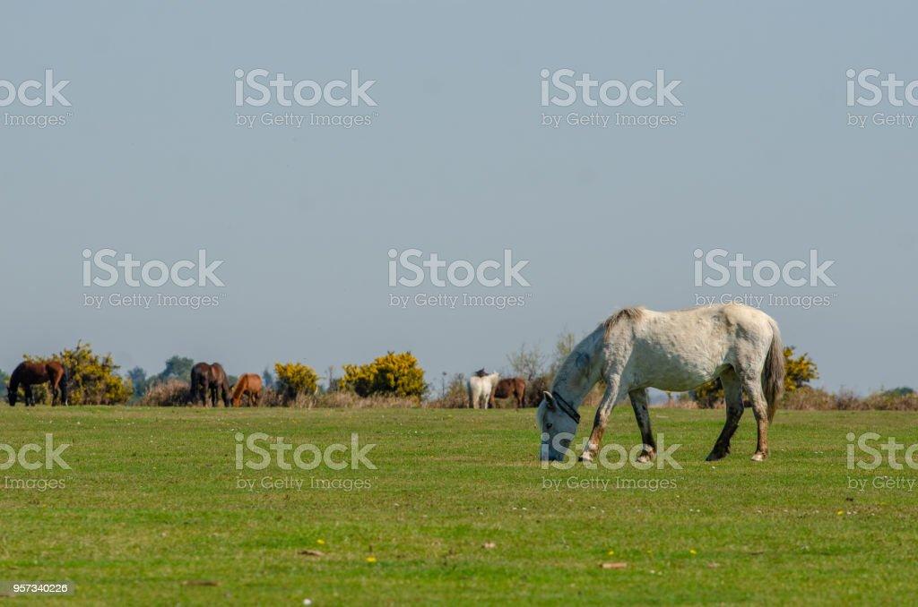 Wilverley Ponies stock photo