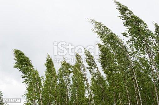 Wind blowing birch trees