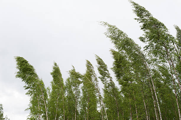 Wind blowing birch trees stock photo