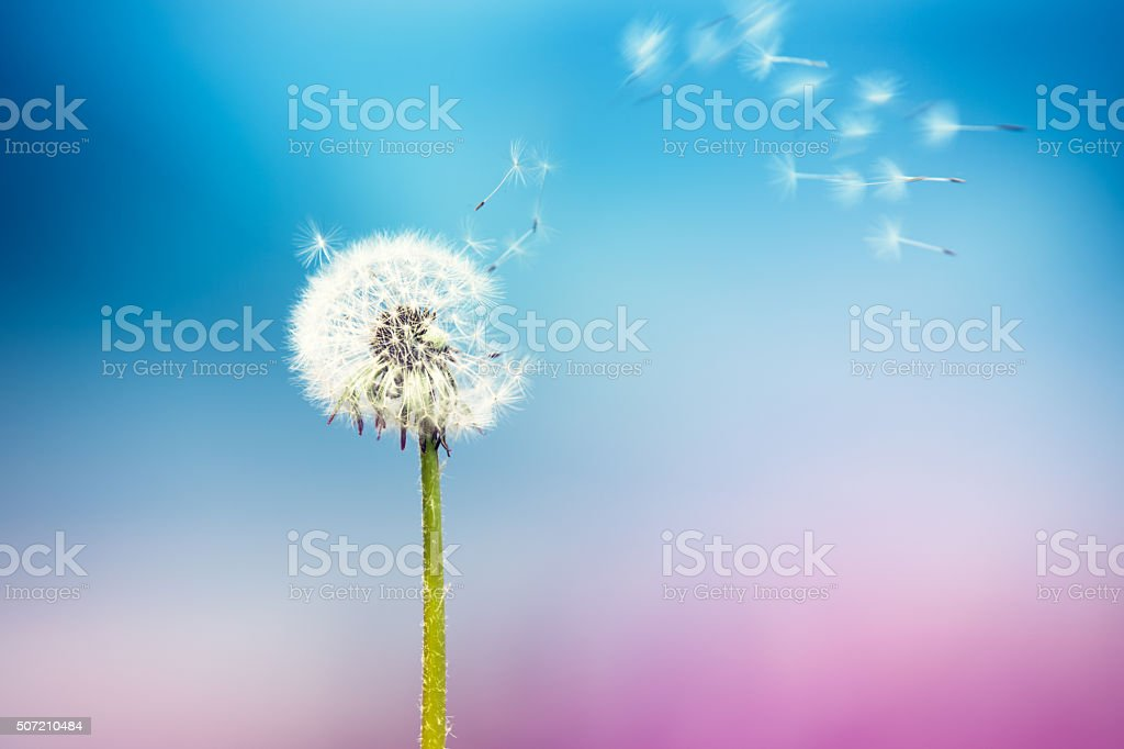 Le vent souffle pissenlit - Photo