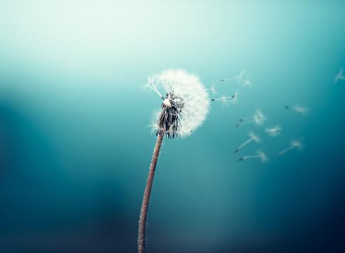 Dandelion seeds flying in the wind.