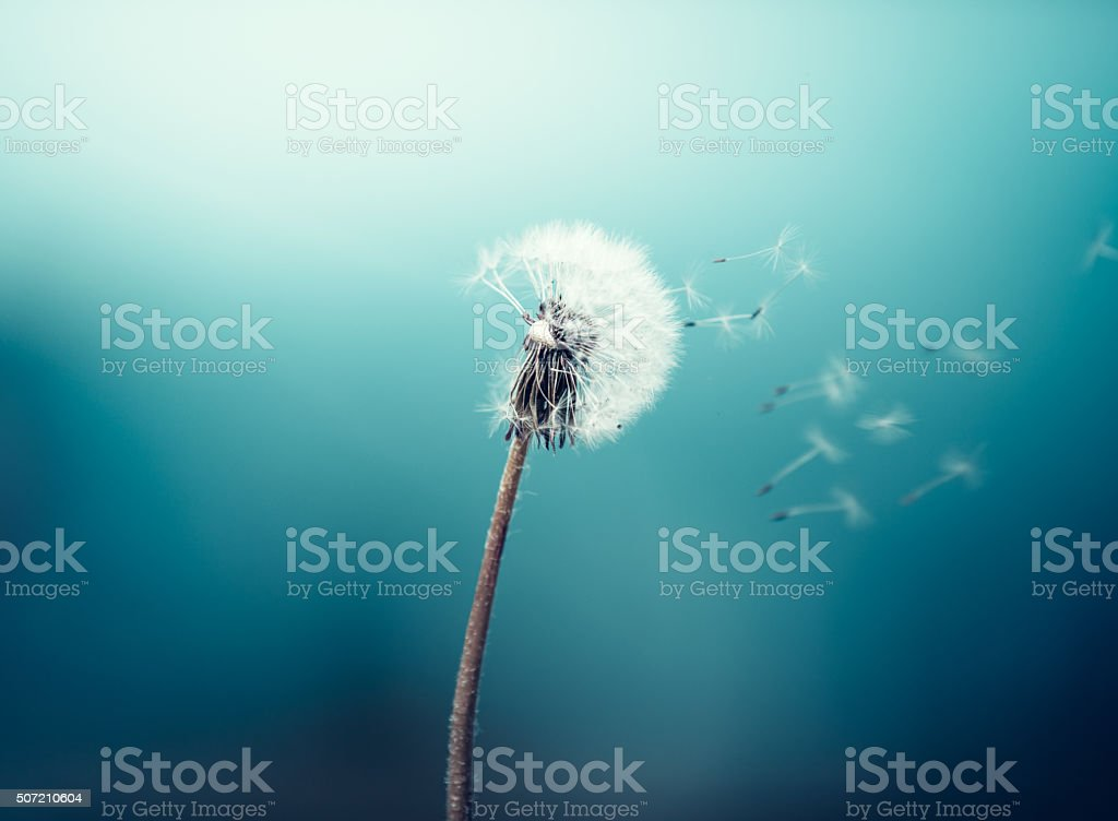 Wind Blowing Dandelion stock photo