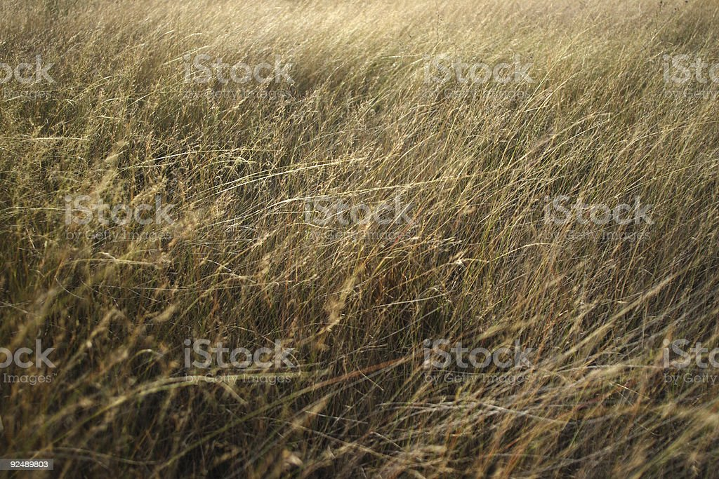 Wind blown long grass royalty-free stock photo