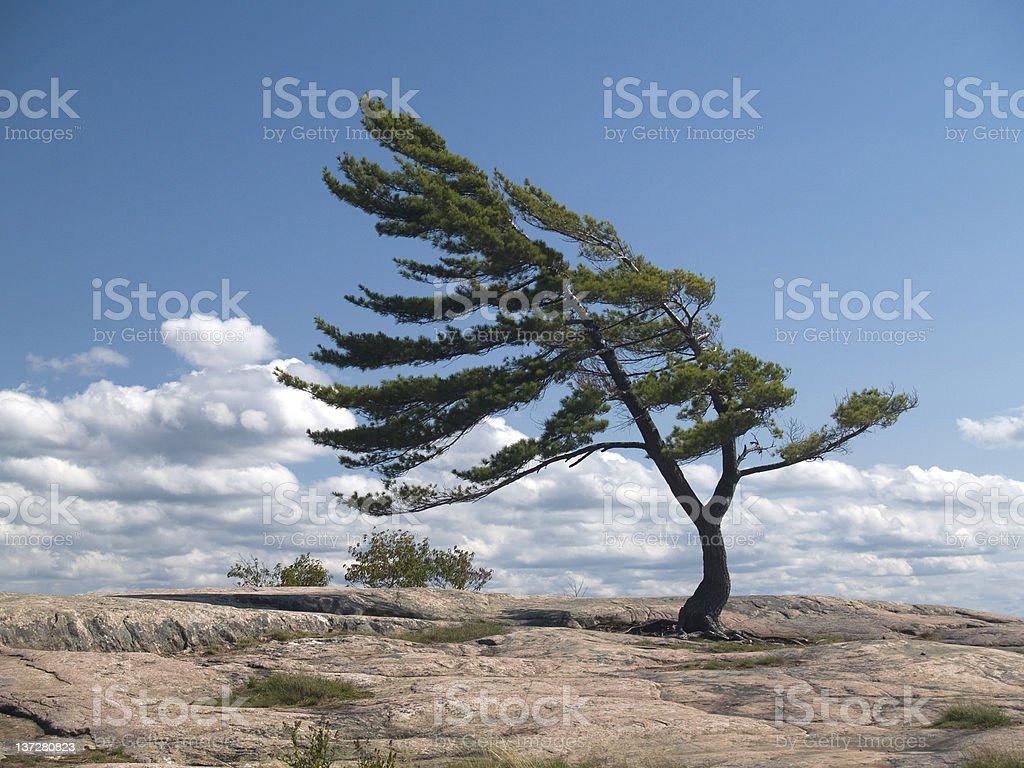 Wind geschäumten Pine – Foto