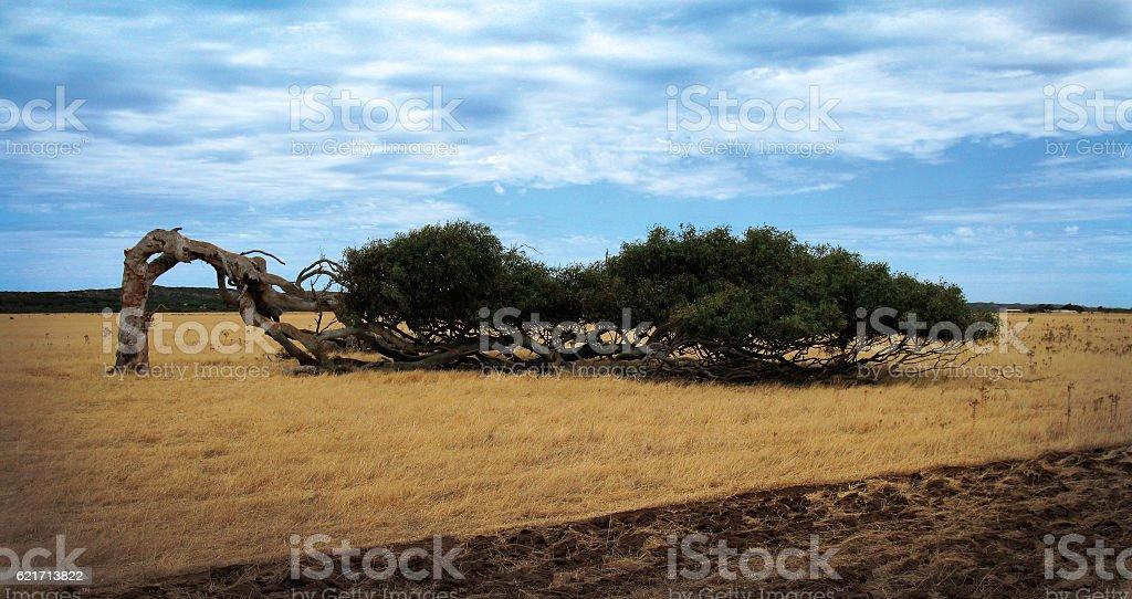 Wind Blown Tree stok fotoğrafı