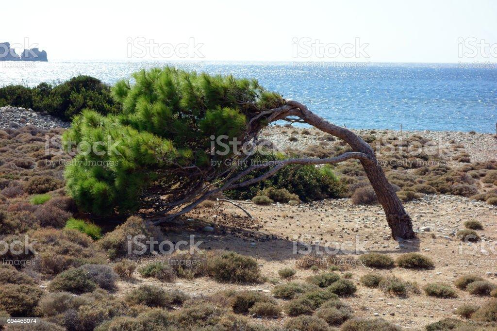 Wind blown tree seen between Sfinari and Chryssoskalitissa, E4 European long distance hiking path, Crete, Greece stock photo