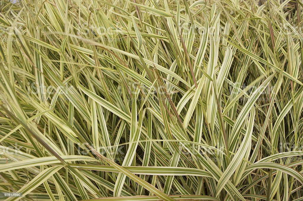 Wind Blown Wild Grass royalty-free stock photo