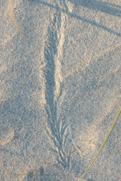 Wind Driven Pattern Dune grass driven by strong wind made this pattern.  Captured in early morning light on Cocoa Beach, Florida USA March 4, 2017. michael stephen wills Florida stock pictures, royalty-free photos & images