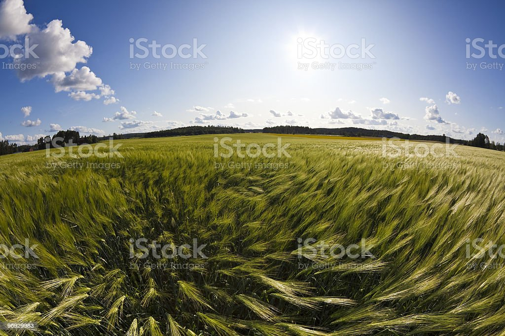 Wind in Barley Field royalty-free stock photo