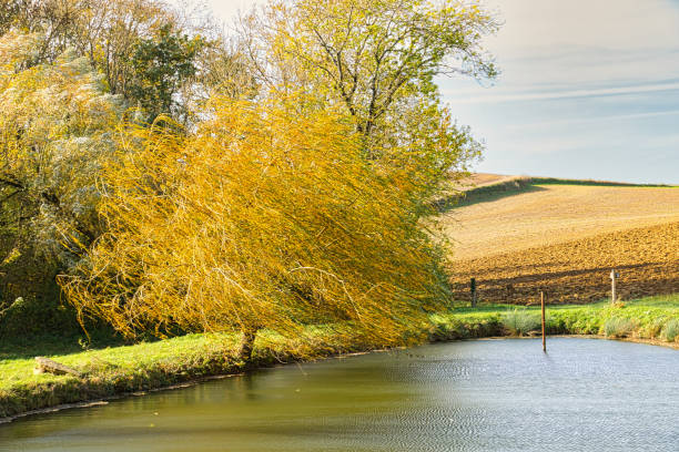 Wind in the willow stock photo