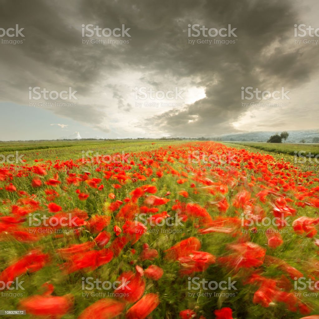 wind is painting a poppy field royalty-free stock photo