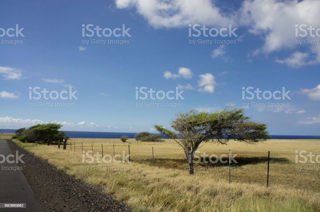 Wind stunted trees with flat grassy fields along the 12 mile road to Ka Lae (South Point) on Hawaii Island. stock photo