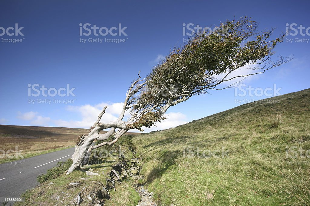 Wind Swept mountain tree stock photo