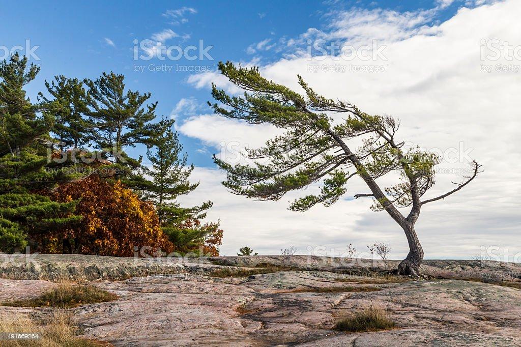 Wind Swept Pine in Autumn stock photo