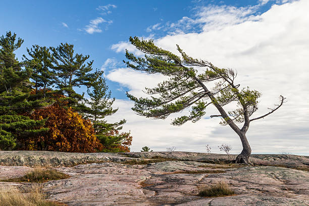 wind swept pine in autumn - provincial park stock photos and pictures
