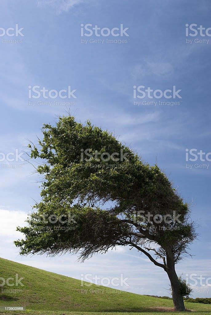 Wind swept tree on US East Coast royalty-free stock photo