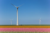 Wind turbines and a field of pink tulips in Noordoostpolder, Holland