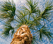 Green Palm Tree leaves blow in the wind against a cloudy blue sky in this image from beneath the tree looking up.