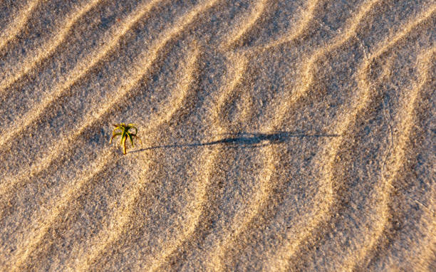 Wind-blown Sand Ripples III A sustained January on-shore wind created this texture.  The image has accents of a solitary plant and faint animal track. michael stephen wills Florida stock pictures, royalty-free photos & images