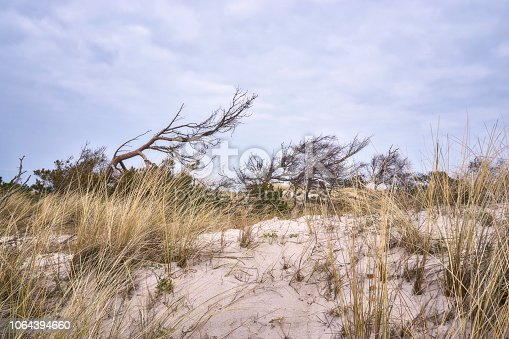 1083309578 istock photo Windblown tree on the dunes 1064394660