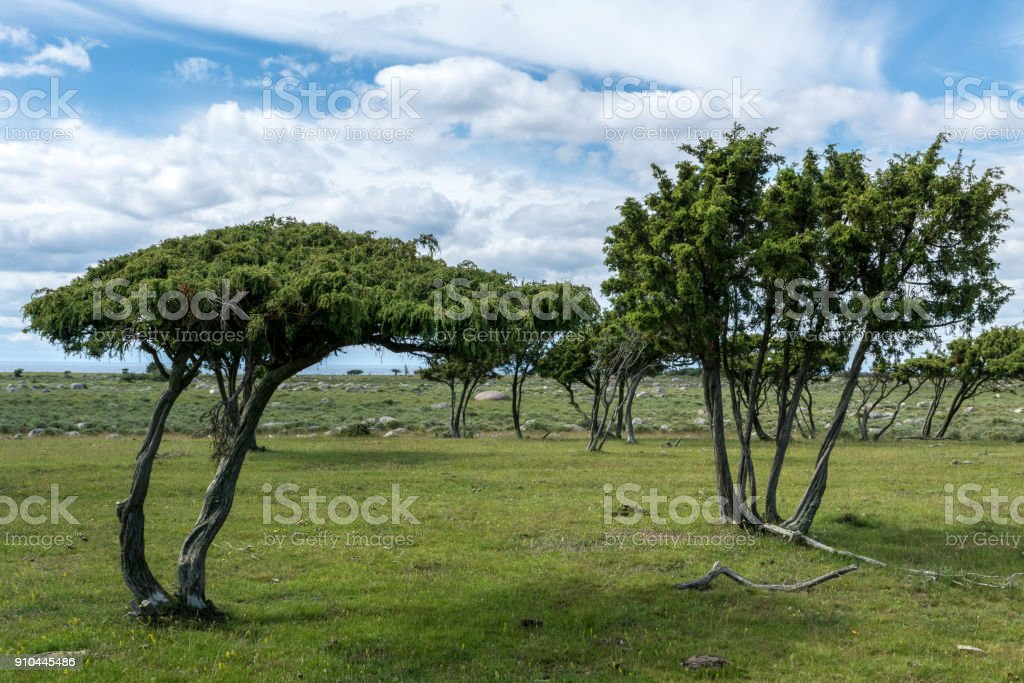 Windblown trees from the flat and very far south end of Öland stock photo