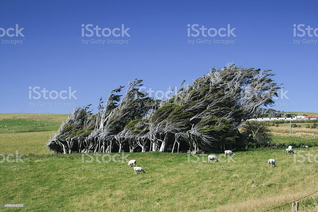 Windblown Trees in New Zealand stock photo