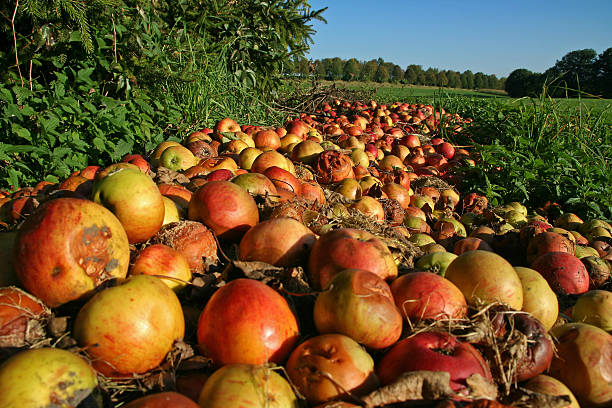 Windfall A heap of windfall apples. addle stock pictures, royalty-free photos & images