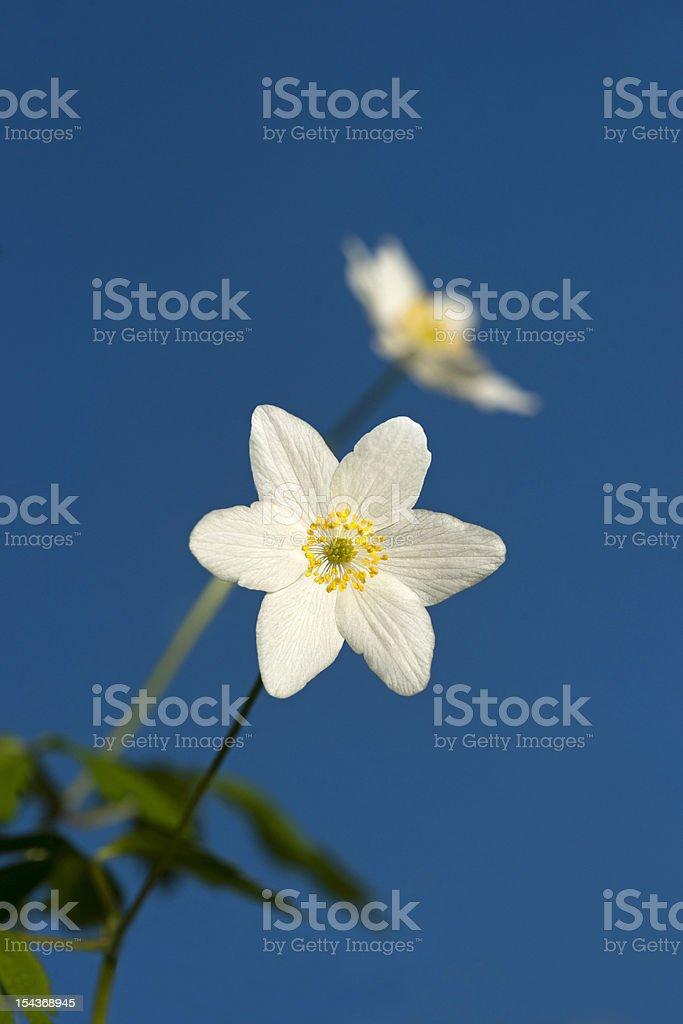 Windflower royalty-free stock photo